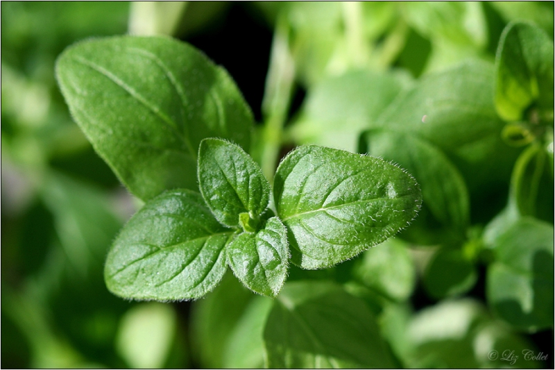 marjoram, Majoran © Liz Collet,wild marjoram, origanum marjoram, EDEKA AG |Iris Kaufmann| New-York-Ring 6 |22297 Hamburg,herbal, spices, spicy, garden, nature, cook, ingredient, green, natural spices, natural flavour, organic, flavour, nutrition, kitchen herbals, culinary herbs, herbs, herbals, culinary herbals, condiment, gastronomy, gardening, indoor gardening, leaves, fresh, aromatic, mint family, mediterranean, mediterranean herbs, taste, flavor, majoran, healthy, culinary additive